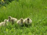 canada geese3.jpg
