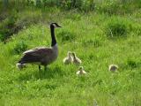 canada geese5.jpg