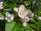 appleblossom02.jpg