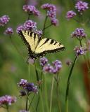 tiger swallowtail on verbena.jpg