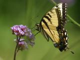 tiger swallowtail profile.jpg