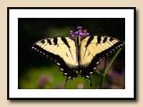 Tiger Swallowtail Macro