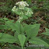 Sweet-Scented Joe-Pye Weed