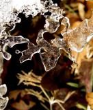 Ice Lace