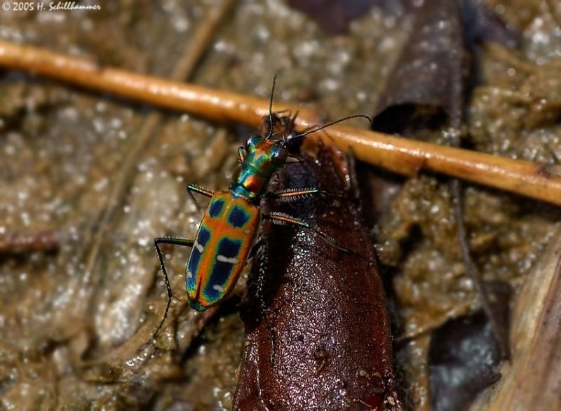 Tiger beetle (Cosmodela duponti); Myanmar