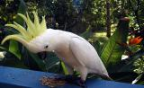 Cockatoo showing its crest