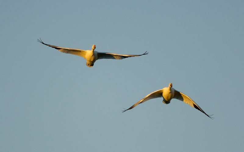 166 Bosque Snow Geese Flight