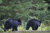 Bears_5568