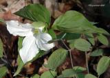 White Trillium 10