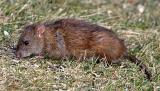 Norway Rat - Rattus norvegicus
