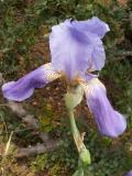 Lírio-roxo (Iris subbiflora)