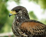 harris' hawk (ranger)