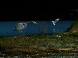 Stalking heron.jpg
