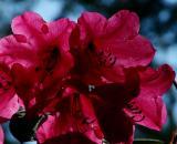Rhodo flowers.jpg