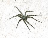 This Texas Wolf Spider is nearly 5 long.