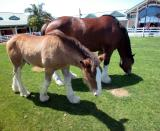 Moma Clydesdale with young male offspring