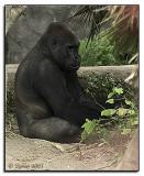10-04-03 Gorilla (San Diego Zoo)