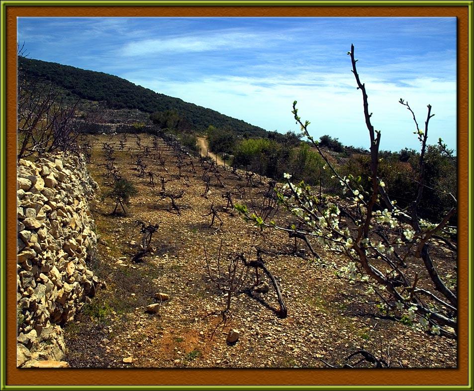 Vine-yard