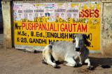 Cow relaxing in Gwalior