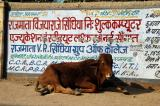 Another Gwalior cow