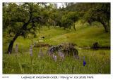 Lupine along Orestimba Creek