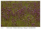 Field of Owl's Clover at the Pacheco Creek Xing