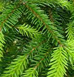 Picea orientalis I