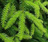 Picea orientalis II
