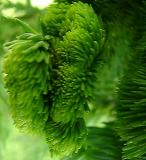 Cryptomeria japonica III