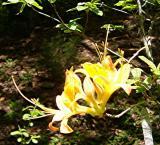R. Roan Mountain seedling