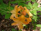 R. calendulaceum