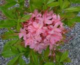 R. Gregory Bald seedling