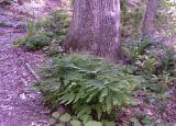 Maidenhair fern; Buxus 'Kingsville Dwarf' at left rear