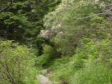 R. maximum along the trail