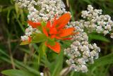 Castilleja coccinea (Indian Paint-brush). Achillea millefolium (Yarrow)