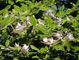R. arborescens