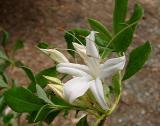 R. viscosum
