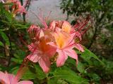 R. arborescens x cumberlandense