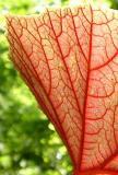 Begonia II