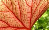 Begonia III