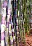 Bamboo - Summit Gardens - Panama 1
