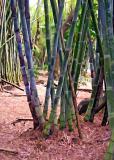 Bamboo - Summit Gardens - Panama 3
