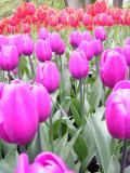 Purple&RedTulips