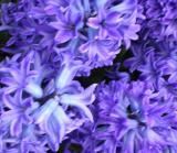 Hyacinth Tops