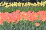 Peach&Yellow Tulips