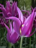 PurplePointyTulip