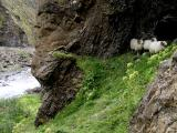 Sheep at a cave entrance on the trail up to Glymur