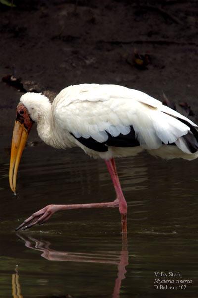 Milky-Stork.jpg