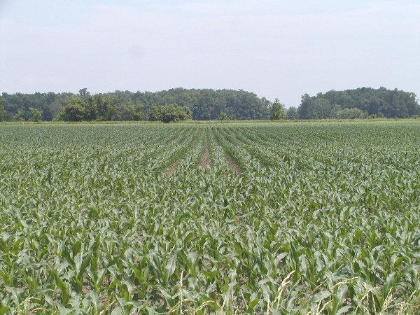 Corn June 27th/02.JPG