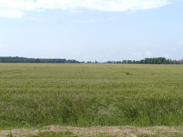 WheatJPG